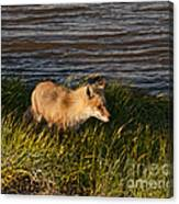 Red Fox Hunting The Edges At Sunset Canvas Print