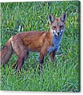 Red Fox In A Field Canvas Print