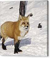 Red Fox In The Snow Canvas Print