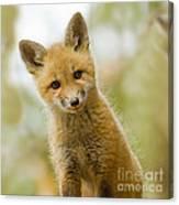 Red Fox Kit Up Close Canvas Print