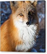 Red Fox Standing Canvas Print