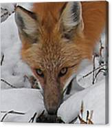 Red Fox Upclose Canvas Print