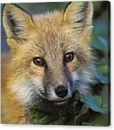 Red Fox Vulpes Vulpes, Gros Morne Canvas Print