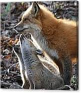 Red Fox With Kits Canvas Print