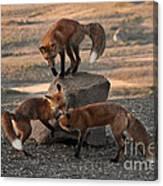 Red Foxes Vulpes Fulva Canvas Print