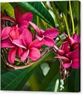 Red Frangipani Flowers Canvas Print