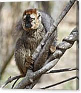 Red-fronted Lemur  Eulemur Rufifrons Canvas Print