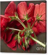 Red Geranium In Progress Canvas Print