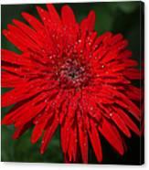Red Gerbera Daisy Delight Canvas Print