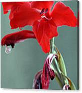 Red Gladiolus Canvas Print