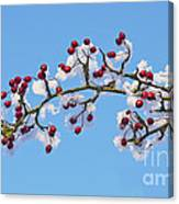 Red Haws Frosted By Snow Canvas Print