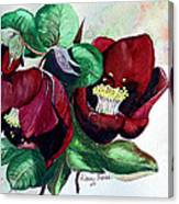 Red Helleborous Canvas Print