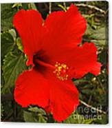 Red Hibiscus Blooming Canvas Print