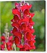 Red Snapdragon Canvas Print