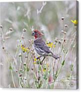 Red House Finch In Flowers Canvas Print