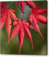 Red Japanese Maple Leafs Canvas Print