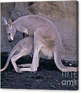 Red Kangaroo. Australia Canvas Print