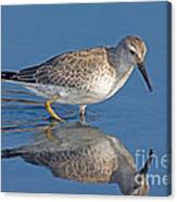 Red Knot Calidris Canutus Canvas Print