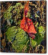 Red Leaf On Moss Canvas Print