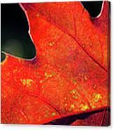 Red Leaf Rising Canvas Print