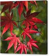 Red Leafs Of The Maple Canvas Print