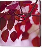 Red Leaves - Euphorbia Cotinifolia - Tropical Smoke Bush Canvas Print