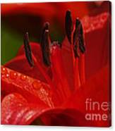 Red Lily Close Canvas Print