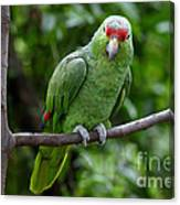 Red-lored Parrot On Branch Canvas Print