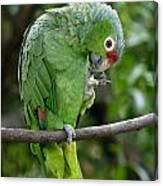 Red-lored Parrot Canvas Print