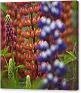 Red Lupinus Canvas Print