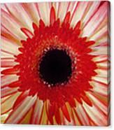 Red  Macro Daisy  Canvas Print