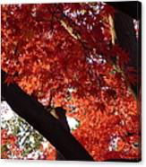 Red Maple 02 Canvas Print