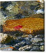 Red Maple Leaf In Stream Canvas Print