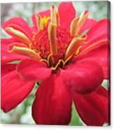 Red Mini-zinnia Canvas Print
