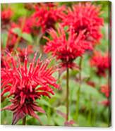 Red Monarda Canvas Print