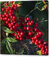 Red Nandina Berries - The Heavenly Bamboo Canvas Print
