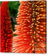 Red-orange Flower Of Eremurus Ruiter-hybride Canvas Print