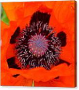 Red Oriental Poppy Canvas Print