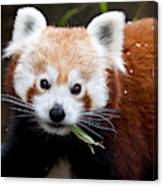 Red Panda  Ailurus Fulgens Eating Canvas Print
