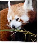 Red Panda  Ailurus Fulgens In Captivity Canvas Print