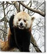 Red Panda Bear In A Tree Canvas Print