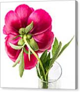 Red Peony Flower Back Canvas Print