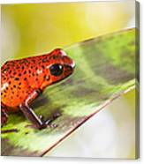 Red Poison Frog Canvas Print