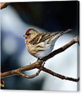 Red Poll Canvas Print