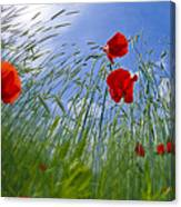 Red Poppies And Blue Sky Canvas Print