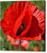 Red Poppy 2 Canvas Print