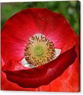 Red Poppy 3 Canvas Print