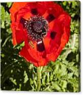 Red Poppy And Bee Canvas Print