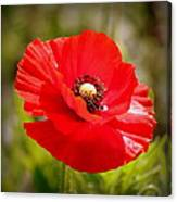 Red Poppy Power Canvas Print