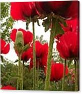 Red Poppy's Canvas Print